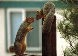 IS IT LOVE? OR CONFLICT? TWO SQUIRRELS WATCH EACH OTHER Mode